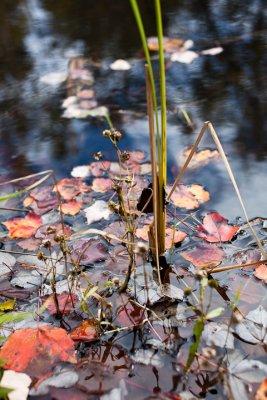 Leaves Fallen Among Pond Grasses #3