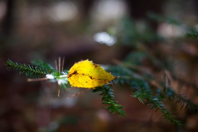 Yellow Leaf Caught on Fir Branch