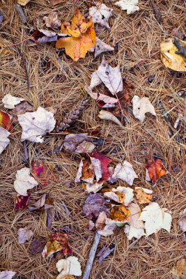 Fallen Leaves on Pine Needles #2