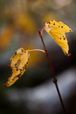 Last Leaf Pair #3