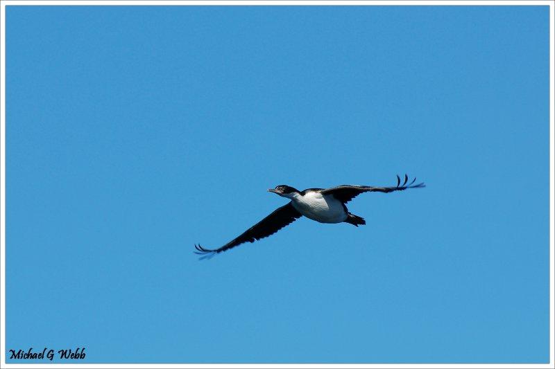 Falklands Cormorant