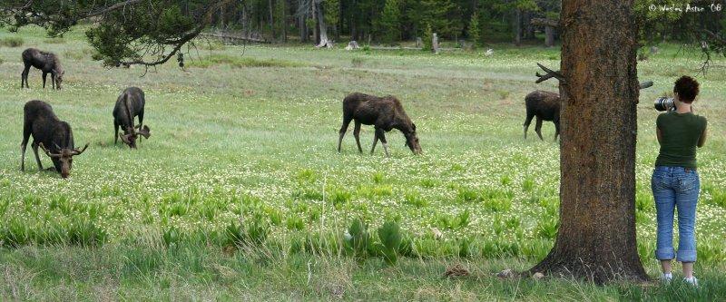Moose Pano