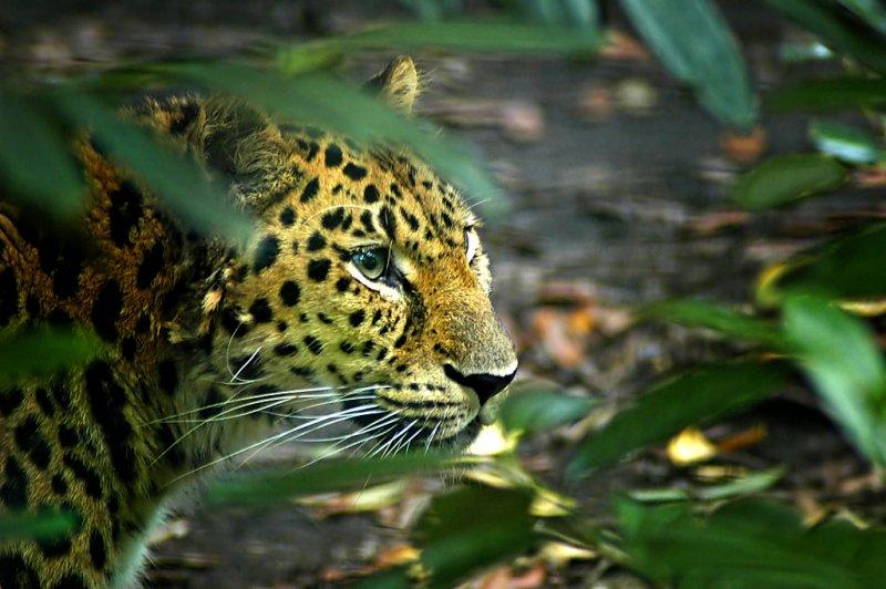 Leopard (7017)