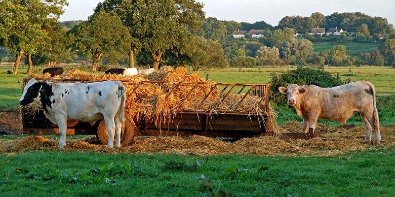 Hay, cows!