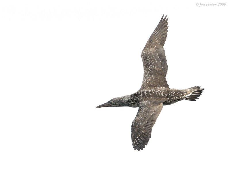 _NW92666 Northern Gannet Juvenile