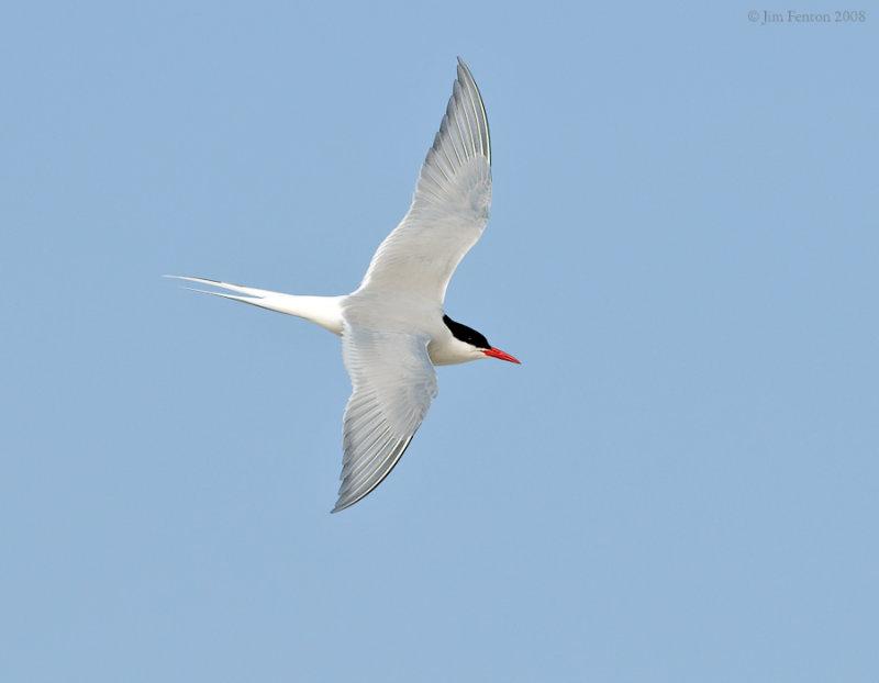 _NW88143 Arctic Tern.jpg