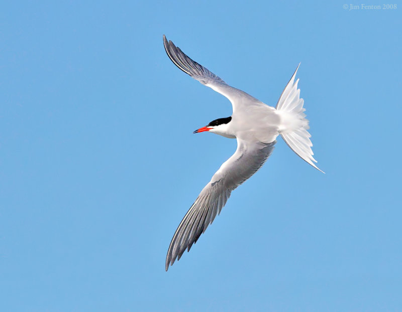 _NW88690 Common Tern in Flight.jpg