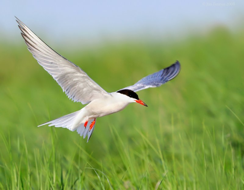 _NW88937 Common Tern Into The Grass.jpg