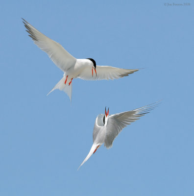 _NW87782 Common and Roseate Tern.jpg
