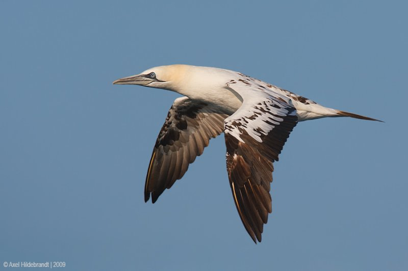 NorthernGannet38c8643.jpg