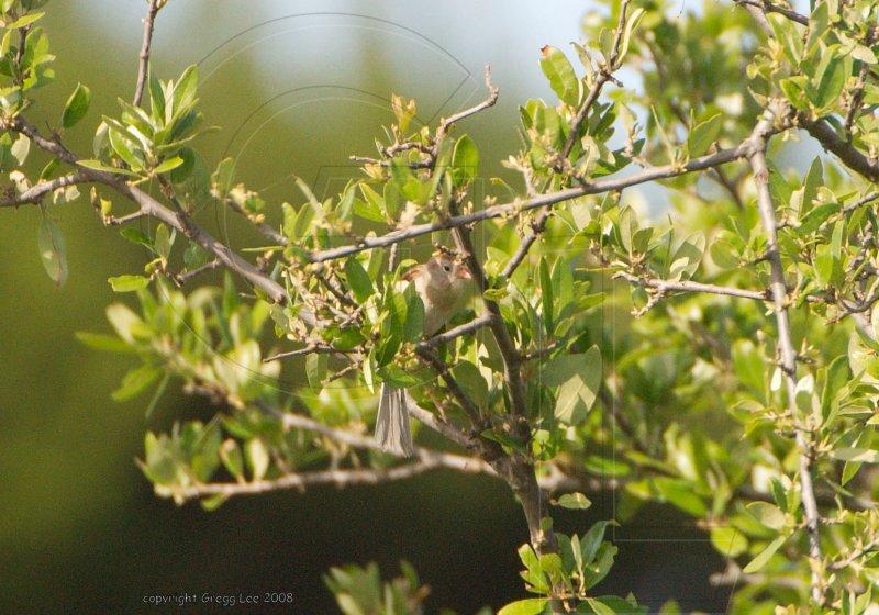 field sparrow may 11