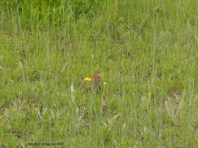 field sparrow may 10