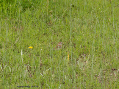 field sparrow may 10