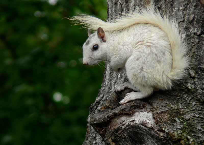 WHITE SQUIRREL - ISO 100