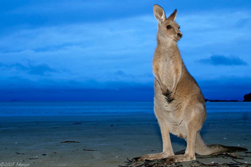 wallaby on a beach