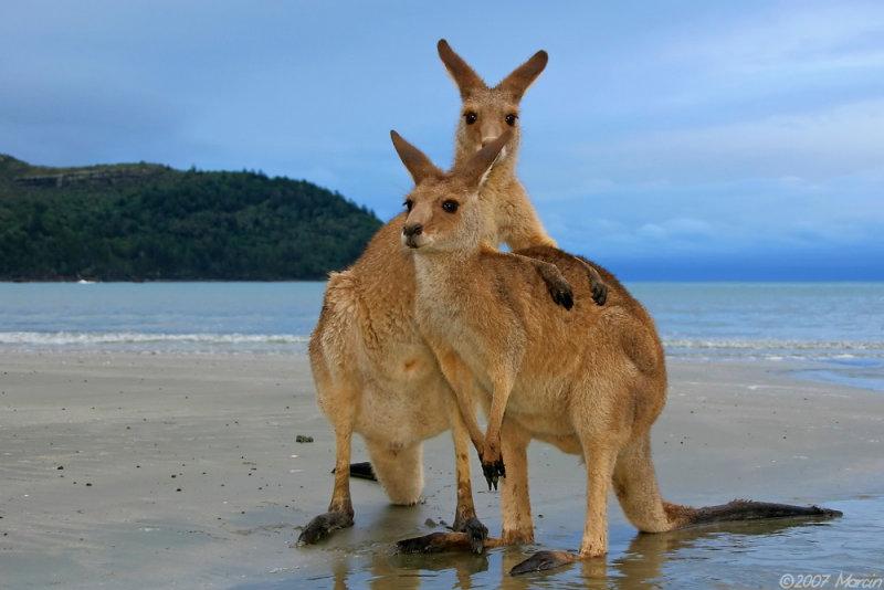 wallabies on a beach