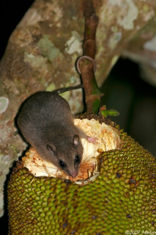 Fawn-footed Melomys on a jackfruit