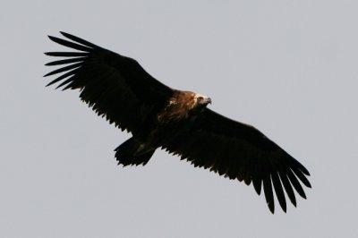 Black Vulture - Aegypius monachus - Buitre negro - Voltor Negre