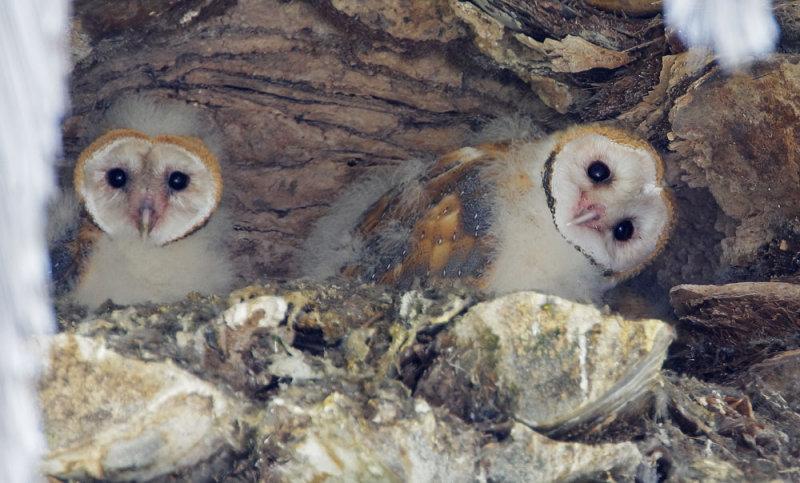 Barn Owls, nestlings