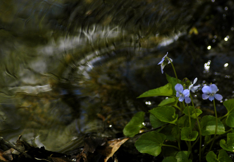 violets in the stream 172