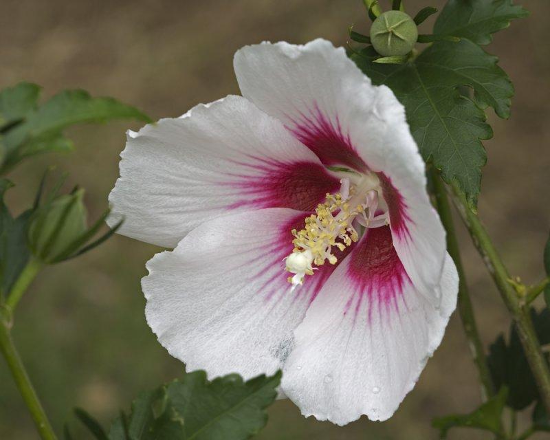 White Rose of Sharon - 2