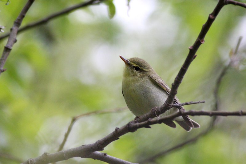 Green Warbler (Seicercus nitidus)