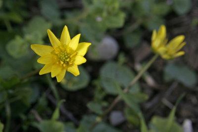 gewoon Speenkruid - Ranunculus ficaria