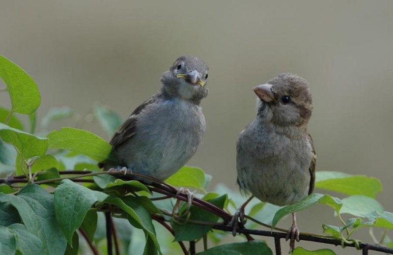 Young House Sparrow and Mom