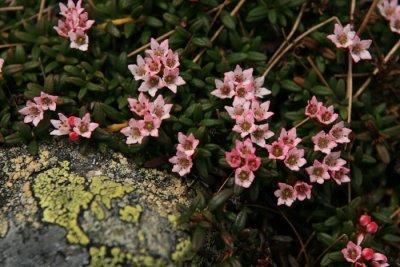 Alpine Azalea