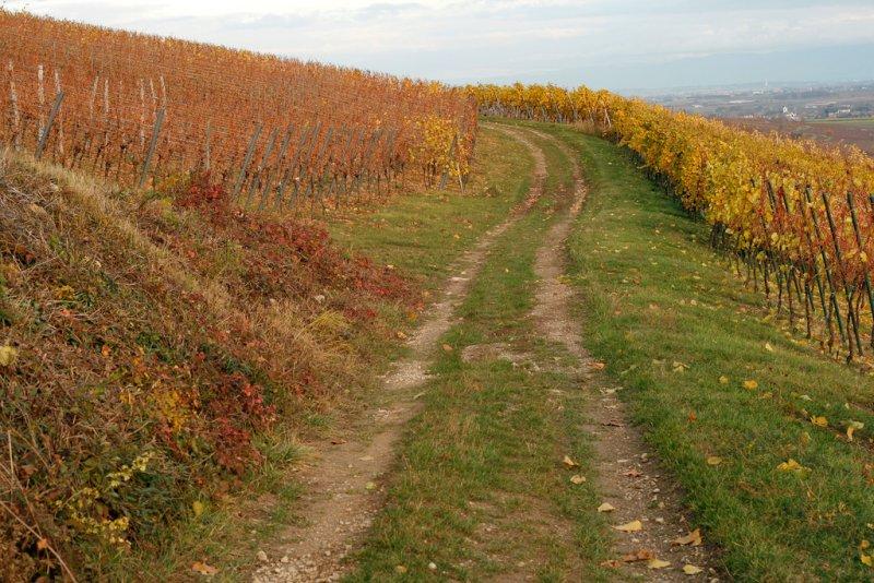 Westhoffen, vineyard.