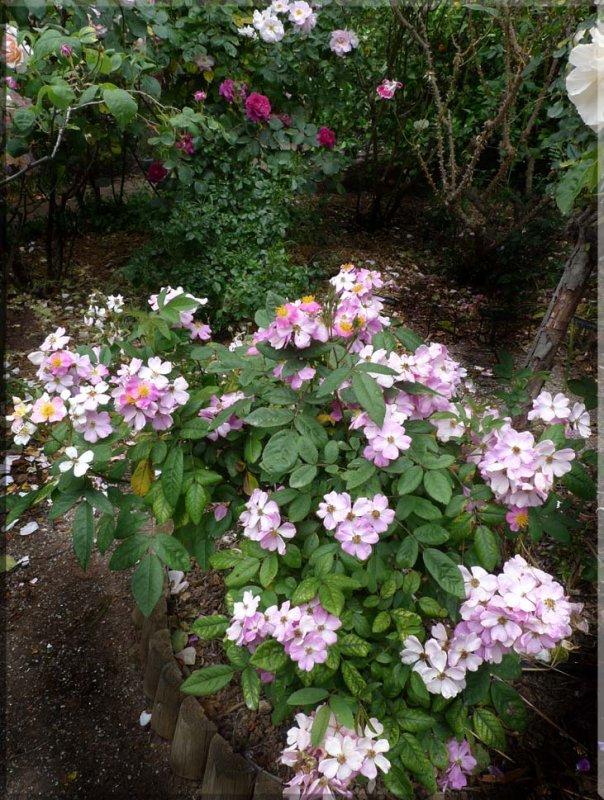 Rose garden on cool morning 09.18.jpg