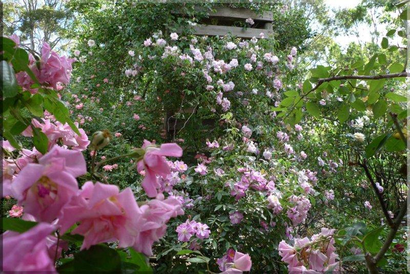 Rose garden on cool morning 09.33.jpg