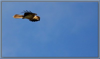Bird of prey - Black Falcon