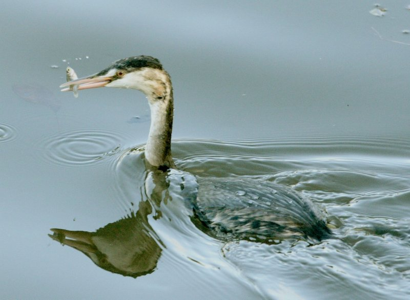 Could be a grebe.