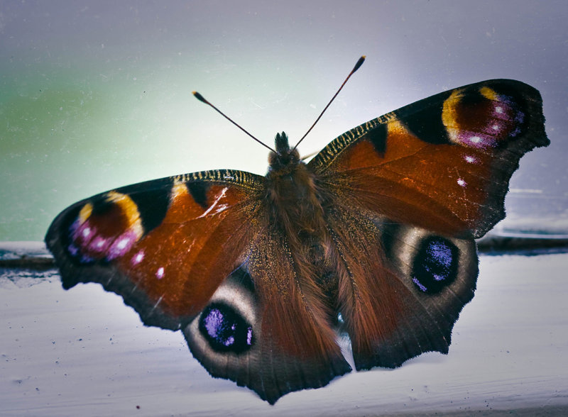Monday 28 July - Peacock Butterfly