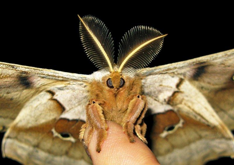Io Moth on Finger
