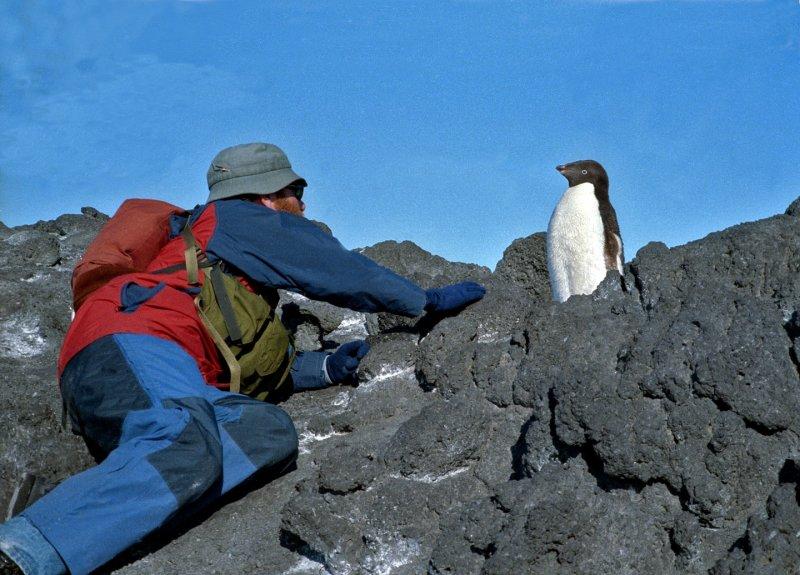 Sizing up Adelie Penguin in Antarctica.
