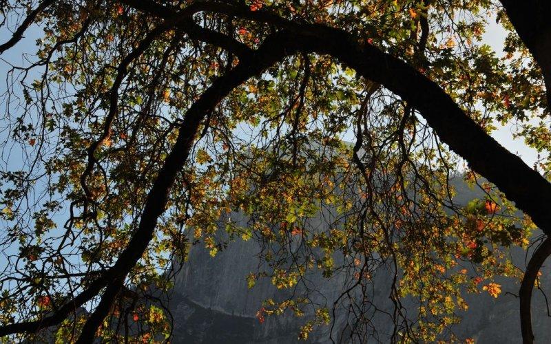 Oak Tree and Half Dome