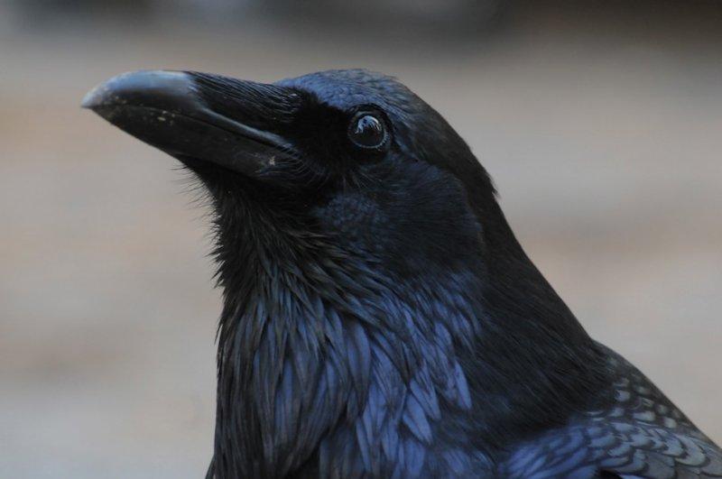 Raven at Mariposa Grove - Yosemite