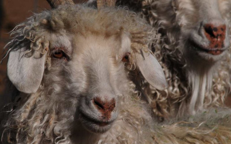 Angora Goat Near Tsaile, Arizona