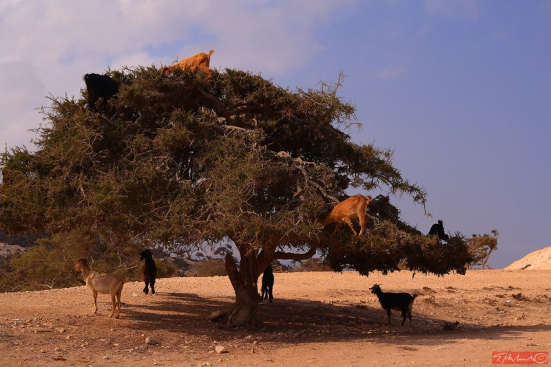 ... just goats on the tree - somewhere in Morocco