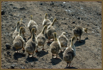 Chicks of eastern Turkey