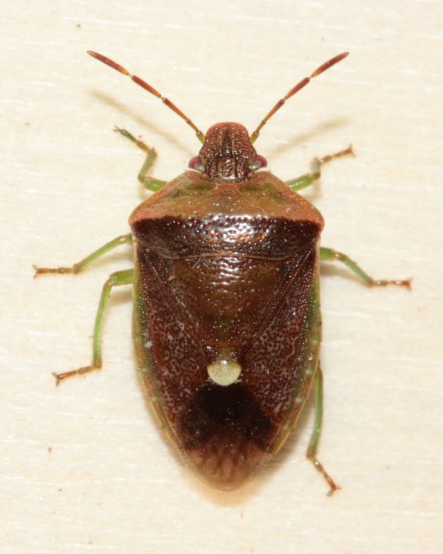 Red-backed Stink Bug (Banasa dimiata)