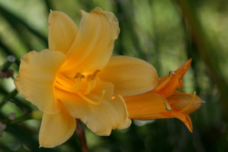 September 22, 2006<BR>Backlit Lilly