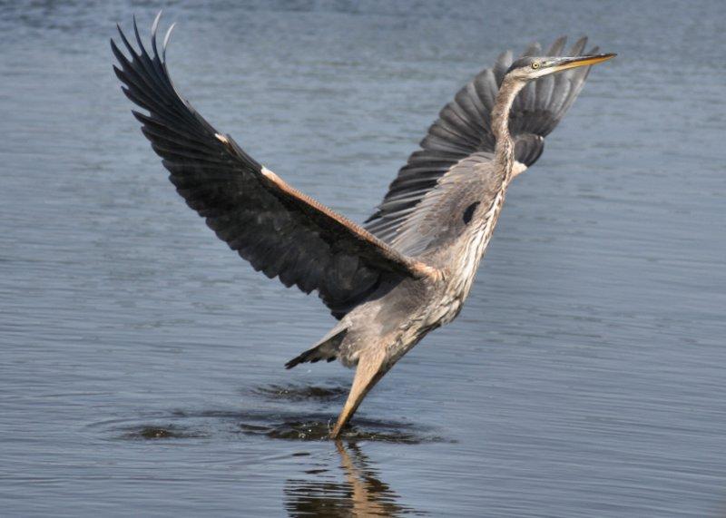 September 27, 2006<br/>Great Blue Heron