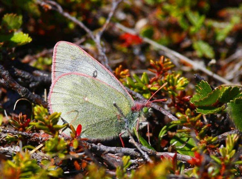 Fjällhöfjäril (Colias werdandi)