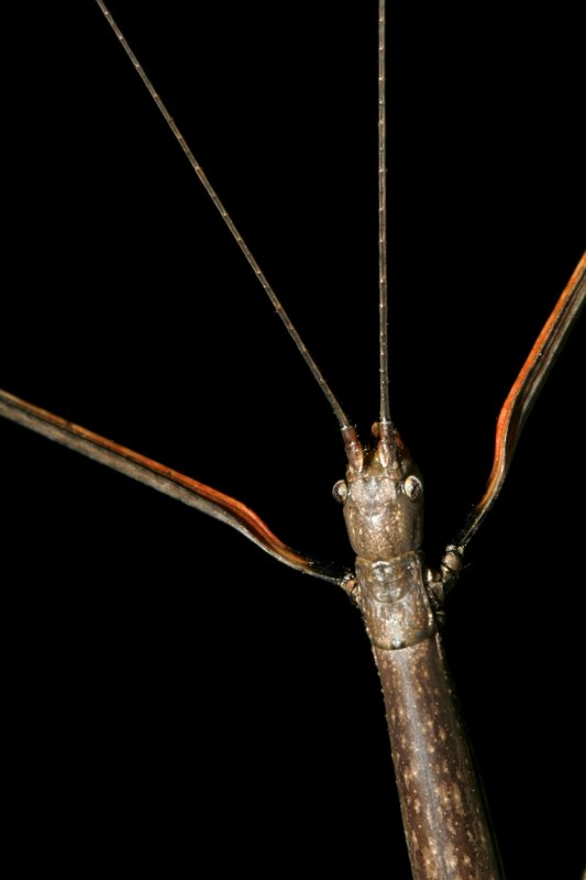 Diapheromera femorata (Northern Walkingstick)