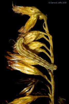 Eupithecia sp. (Pug)