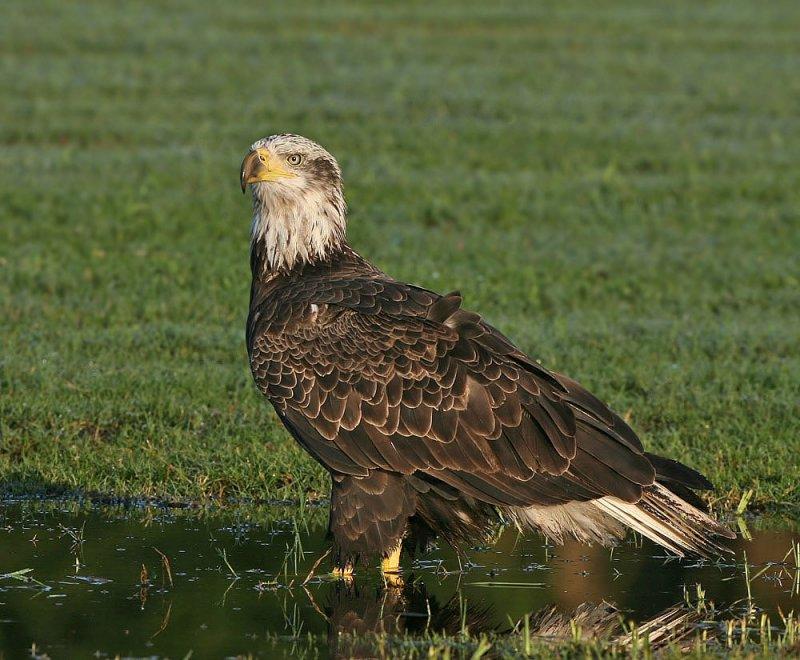 Bald Eagle,4th year bird, Trorwood Park,