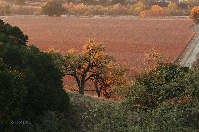 Fall Vineyard Oaks